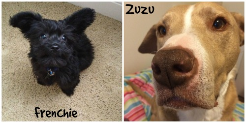 frenchie vs zuzu